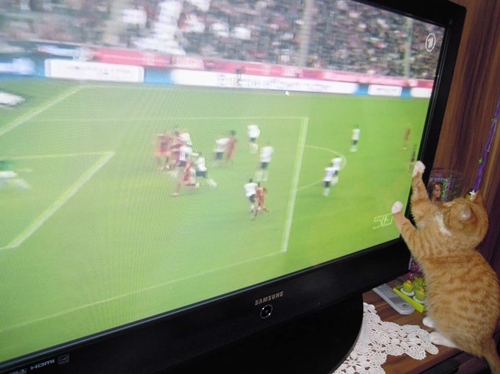 cat loves watching football on TV
