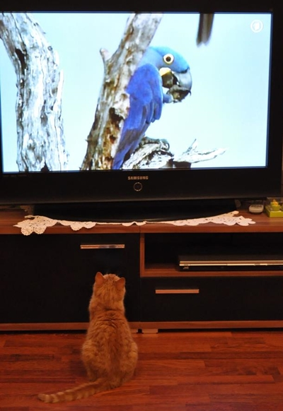 cat watches tv
