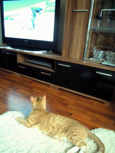 my adopted cat watches TV