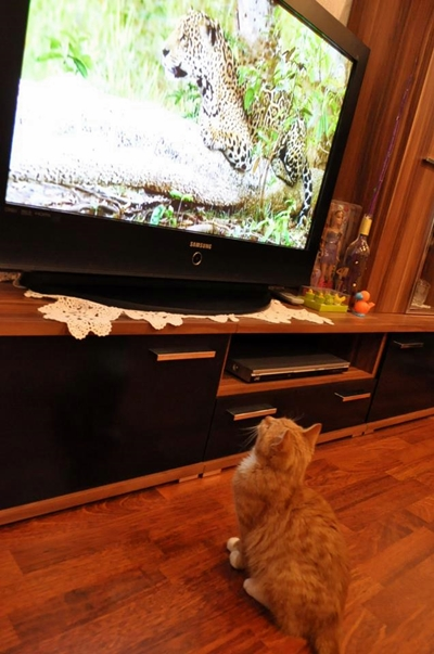 my cat loves watching TV
