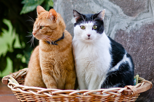 history of the common house cat